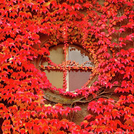 Red Ivy Covered Wall by Douglas Taylor