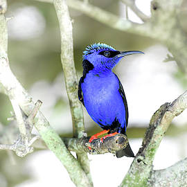 Red-legged Honeycreeper  by Garrick Besterwitch