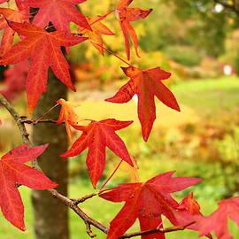 Loretta S - Red Maple Tree