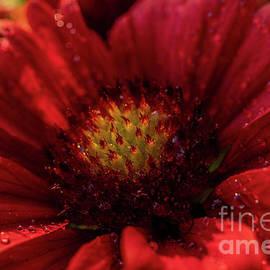 Red Mesa Gaillardia by Linda Howes