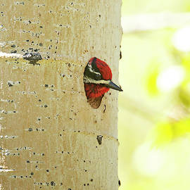 Michael Trewet - Red Naped Sapsucker Male 5239   Sphyrapicus nuchalis