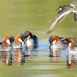 Red-necked Phalaropes Fishing by Judi Dressler