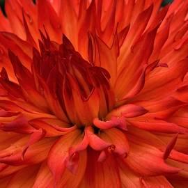 Red orange Dalia  by Loretta Bueno