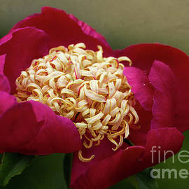 Red Peony by Ann Jacobson
