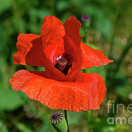 Red poppy flower by Tibor Tivadar Kui