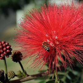 Red Powderpuff by Christopher James