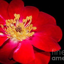 Red Red Rose by Sabrina L Ryan
