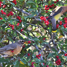 Red Robin and Cedar Waxwing 6 by Linda Brody