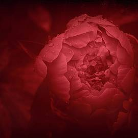 Red rose by Abir Mohamad