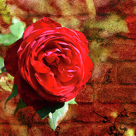 Red Rose by Linda Cox