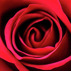 Red Rose Macro by Mary Ann Artz