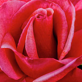 Red Rose Macro by Robert Bales