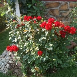 Red Roses Bush by Paul - Phyllis Stuart
