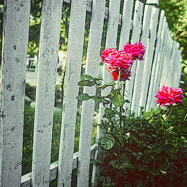 Red Roses, White Fence by Robert Meyerson