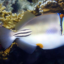 Red Sea Arabian Picasso Triggerfish by Johanna Hurmerinta