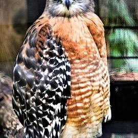Red-Shouldered Hawk by Mary Ann Artz