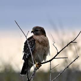 Warren Thompson - Red-Shouldered Hawk Profile