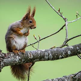 Red Squirrel On An Oak Branch by Torbjorn Swenelius