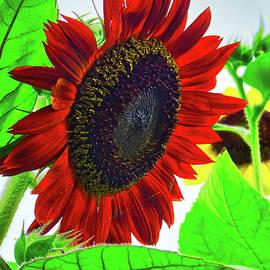 Red Sunflower by Cathy P Jones