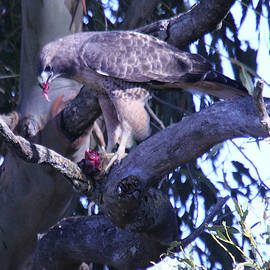 Michael Riley - Red-tail Hawk Eating Gofer