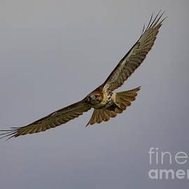 Red Tail Hawk in Flight by CJ Park
