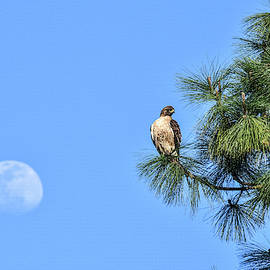 Red Tailed Hawk and Moon 1 by Linda Brody