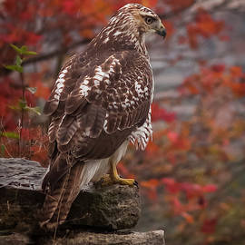 Red-Tailed Hawk by David Hook