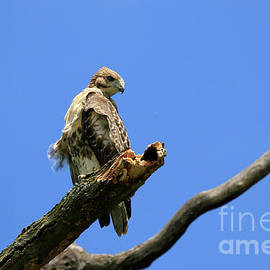 Red-Tailed-Hawk Fledgling by Charline Xia