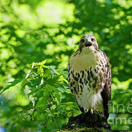 Red-Tailed-Hawk Fledgling Crying by Charline Xia