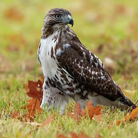 Jack Milton - Red-Tailed Hawk