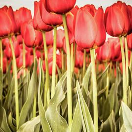 Red Tulip Field In Portrait Format. by Anjo Ten Kate
