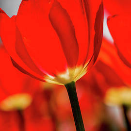 Red Tulips by Garrick Besterwitch
