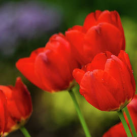 Red Tulips by Mary Ann Artz