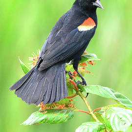 Red Wing Blackbird by Jerry Griffin