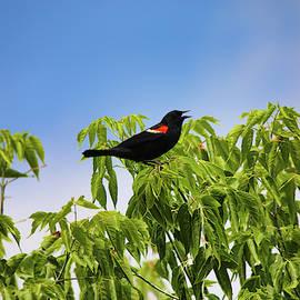 Red Wing Blackbird  by Scott Burd