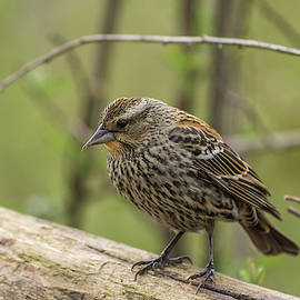 Red-winged Blackbird - 0688 by Jerry Owens