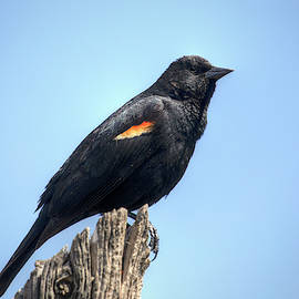 Red-Winged Blackbird 0986 by Kristina Rinell