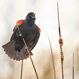 Red-winged Blackbird Claims His Spot by Jim Hughes