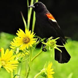 Red-winged Blackbird  by Lori Frisch
