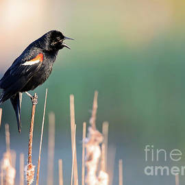 Red-winged Singing by Steve Gass