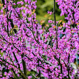 Redbud by Dawn Hough Sebaugh