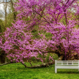Redbud Tree During The Spring by Susan Candelario