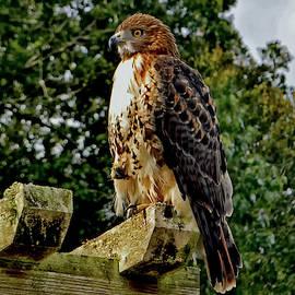 Redtail Hawk 008 by George Bostian
