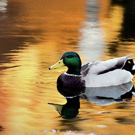 Reflecting Duck by Claude LeTien
