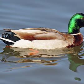 Reflecting Mallard Duck by Bruce Gourley