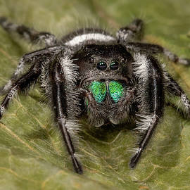Regal Jumping Spider 1 by Jerry Fornarotto