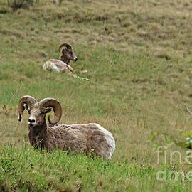 Resting Bighorn Sheep by Robert Bales