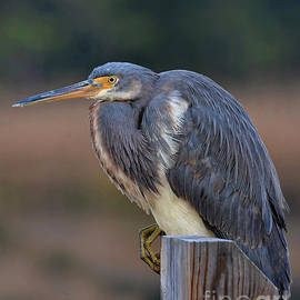 Resting Great Blue Heron by Kathy Baccari