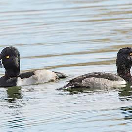 Ring-necked Duck by Jurgen Lorenzen