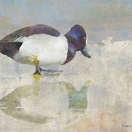 Ring-necked Duck On Ice by R christopher Vest